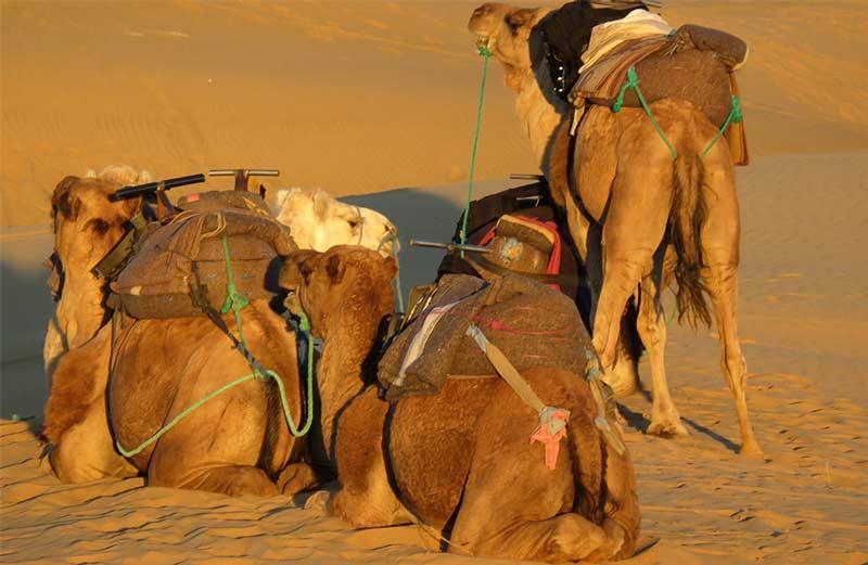 Desert-our-dromedaries