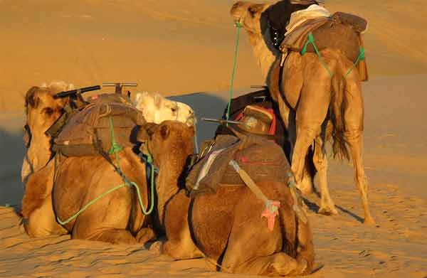 Dromedaries will carry your luggage on the desert tour
