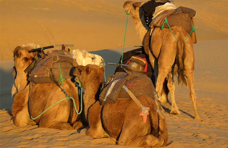 Desert-our-dromedaries