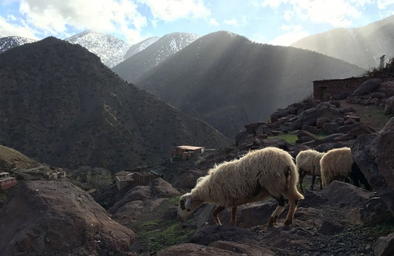 Sheeps, High Atlas, Morocco