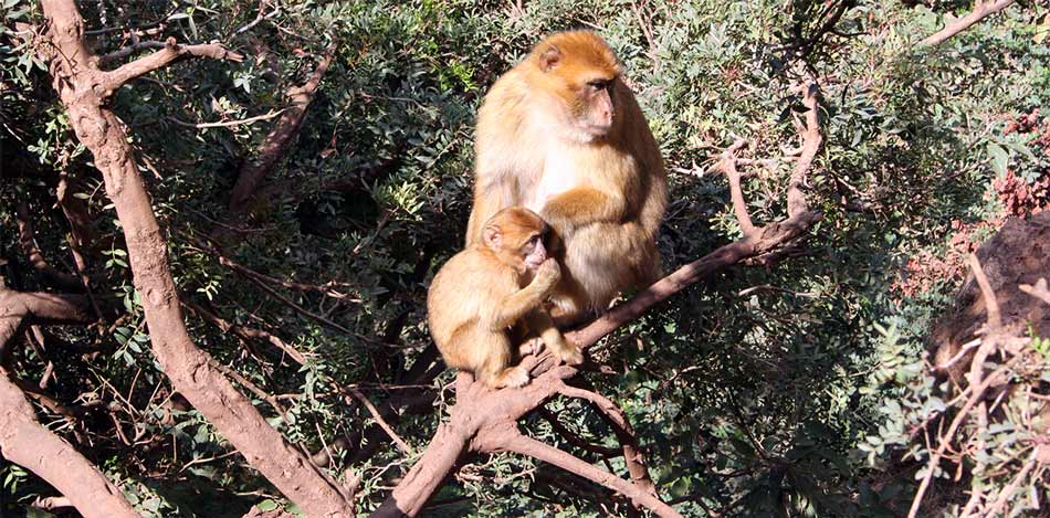 Barbary Apes in Ouzoud, Morocco